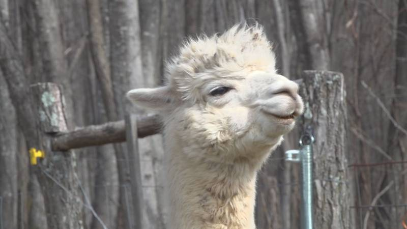 One of the alpacas at Pacaberry Farm in Catawba.