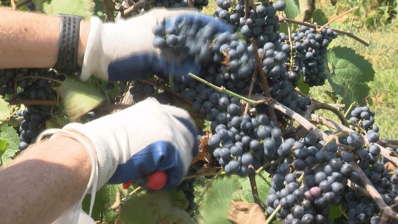 Ryan Hales harvests grapes from the Marechal Foch vines.