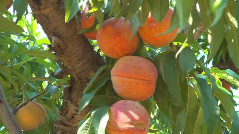 Peaches at Woods Farms in Franklin County.