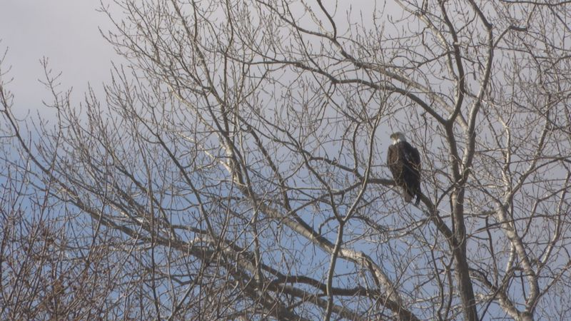 Bald eagles are pictured Thursday, March 25, 2021, at Goose Lake near Waseca, Minn. The Biden...