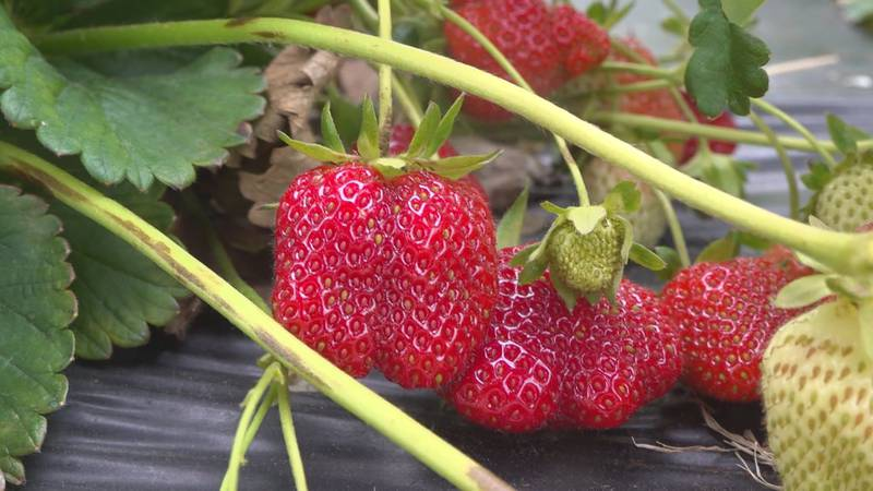 The strawberries are ripe and ready for picking at Motley's Strawberry Farm in Gretna.