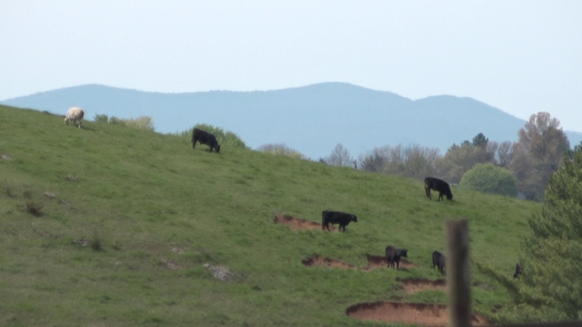 Cattle herd in Rockingham County (Courtesy WHSV)