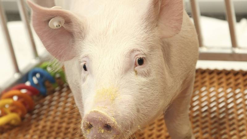 """FILE - This undated photo provided by Revivicor in December 2020 shows a """"GalSafe"""" pig which..."""
