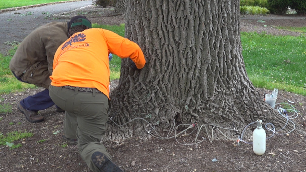 One of the ash trees is treated at Miller Park Wednesday morning. WDBJ7 photo.