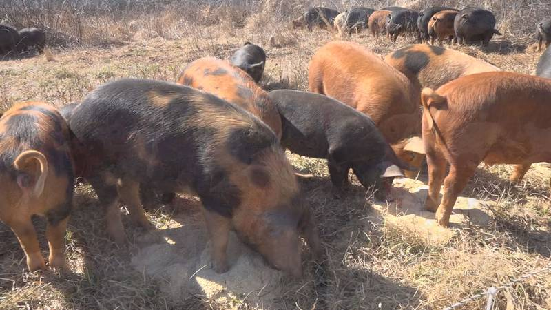 Pigs at Restoration Acres Farm in Big Island.