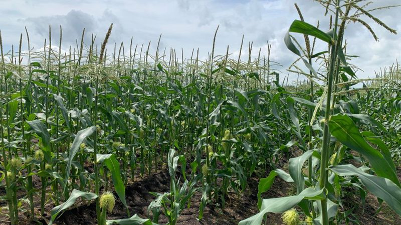 Fincel's Sweet Corn will not have its famous sweet corn available at stands until after the Fourth of July celebrations despite planting their fields a week earlier than usual.