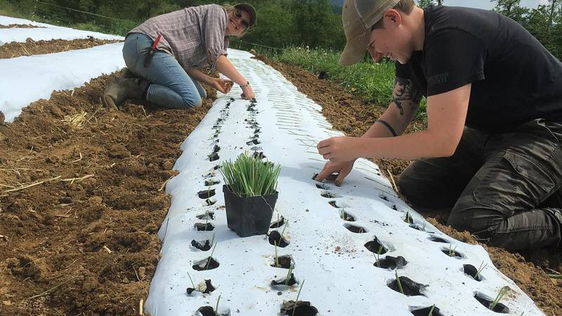 Workers planting in the field at Thornfield farm.