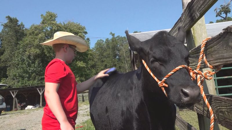 Ethan Furrow brushes his heifer Becky.