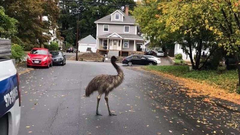 The giant bird was roaming a Haverhill neighborhood, about 30 miles north of Boston.