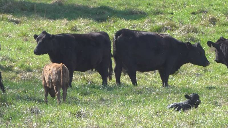 The Dexter cattle grazing at Lazy Pigg Farm in Franklin County.