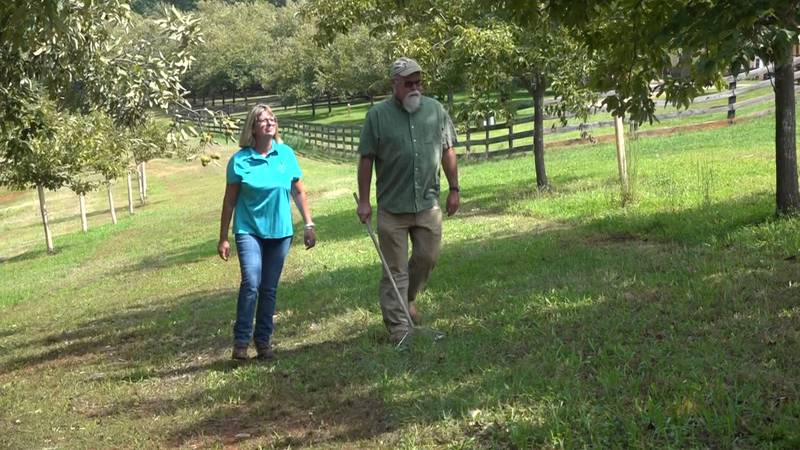 Kim and David Bryant, owners of Virginia Chestnuts, walking through their orchard in Nelson...