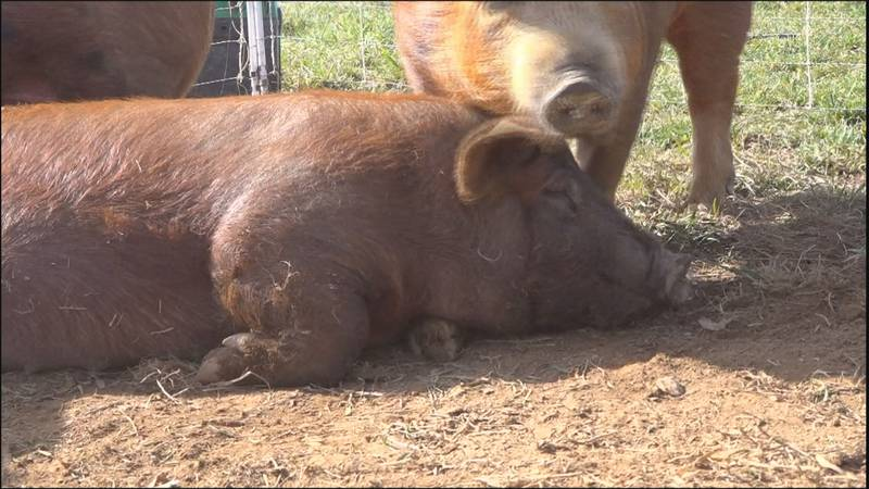 Pigs at Weathertop Farm in Check.