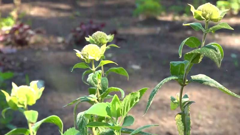 Some of the flowers planted in the pollinator garden at Lynchburg Grows.