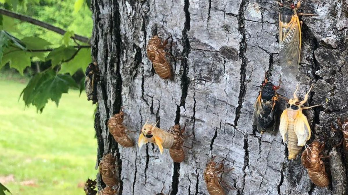 Cicadas emerge after being in the ground since 2003.
