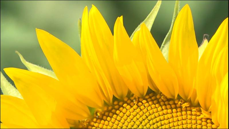 The fifth annual Beaver Dam Farm Sunflower Festival in Botetourt County is happening this year....