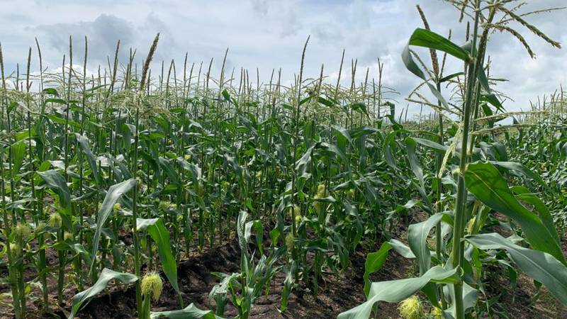 Fincel's Sweet Corn will not have its famous sweet corn available at stands until after the...