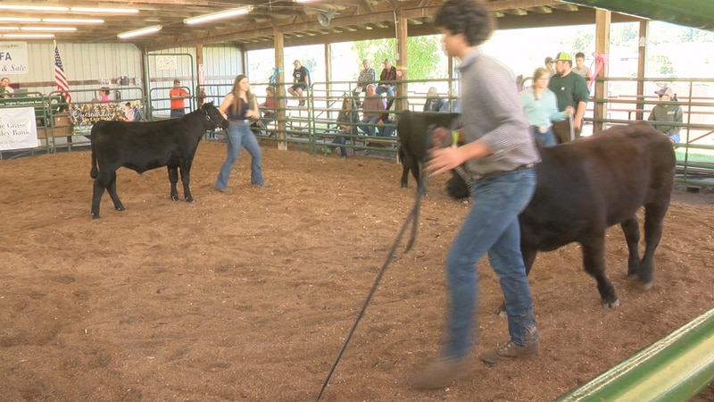 Livestock pass by for judging at the Highland County Fair.