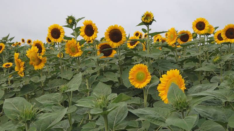 Sinkland Farms will be hosting its first ever Sunflower Festival July 23-August 8.